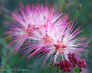 Fairy duster flower