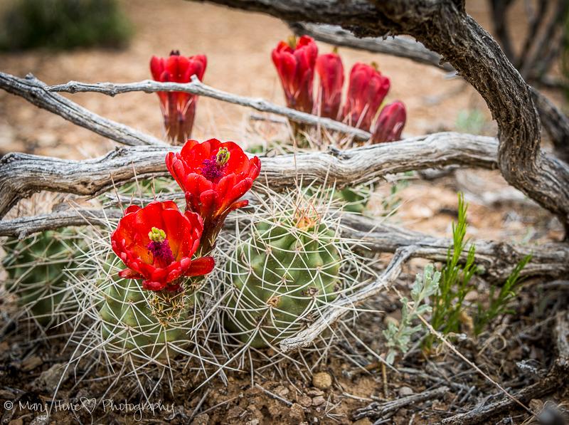 San Rafael swell cactus blooming