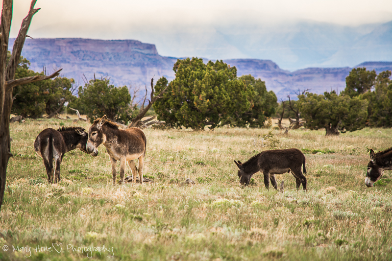 San Rafael swell wild burros