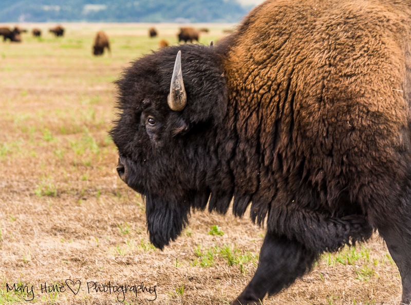 Bison in Grand Teton NP