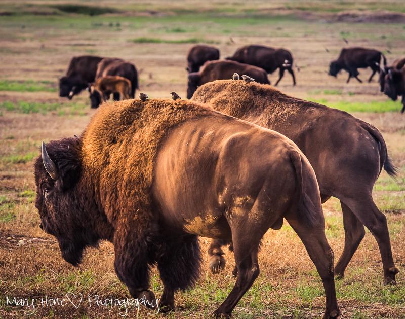 Bison in Grand Teton NP