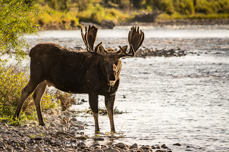 All the angles of a moose, moose in the river