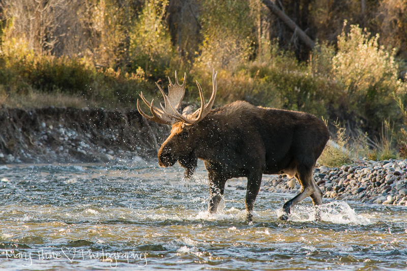 Moose in the river