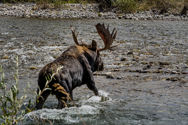 Moose crossing the river