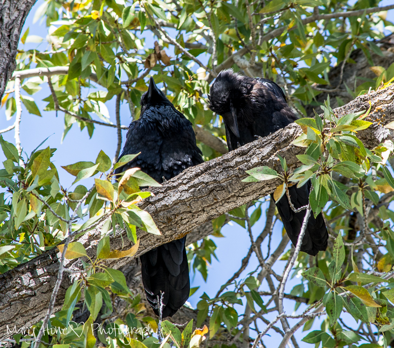 2 ravens in a tree