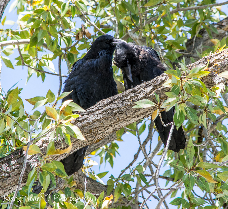 Ravens grooming each other