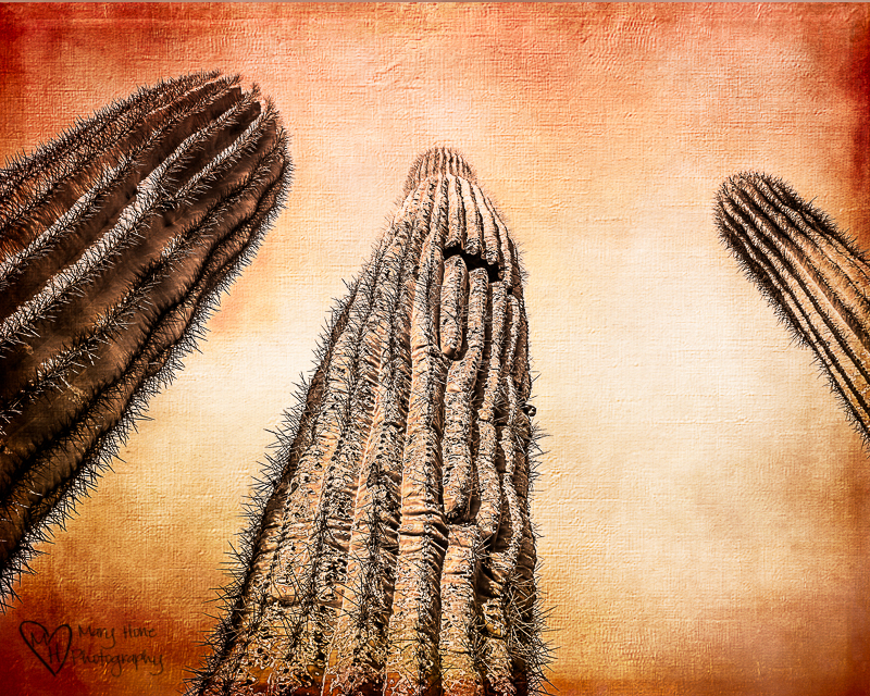 Nobody ever looks up, saguaro cactus