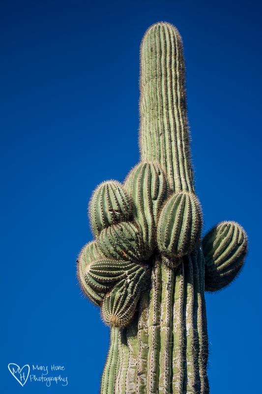 The rhythm of the desert, saguaro cactus