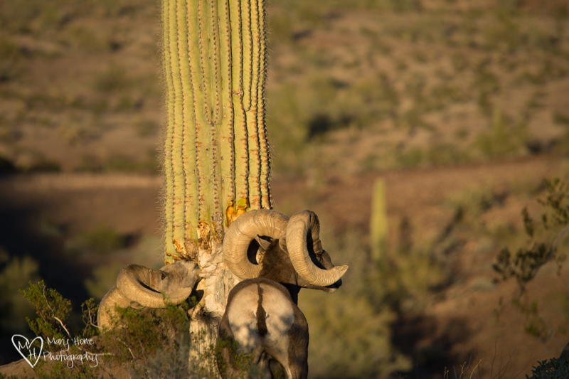 Desert Bighorn Sheep. Arizona