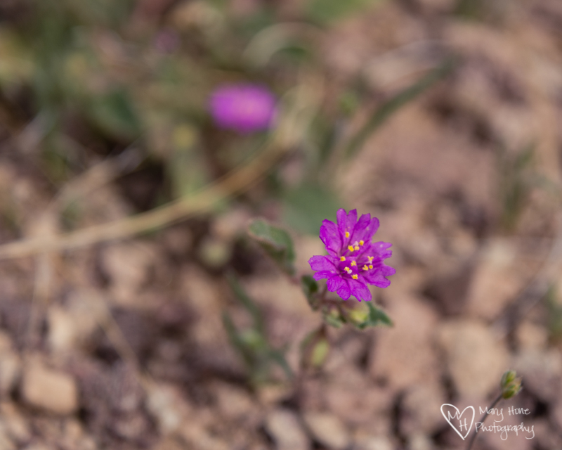 So much color in the desert. Purple desert flower