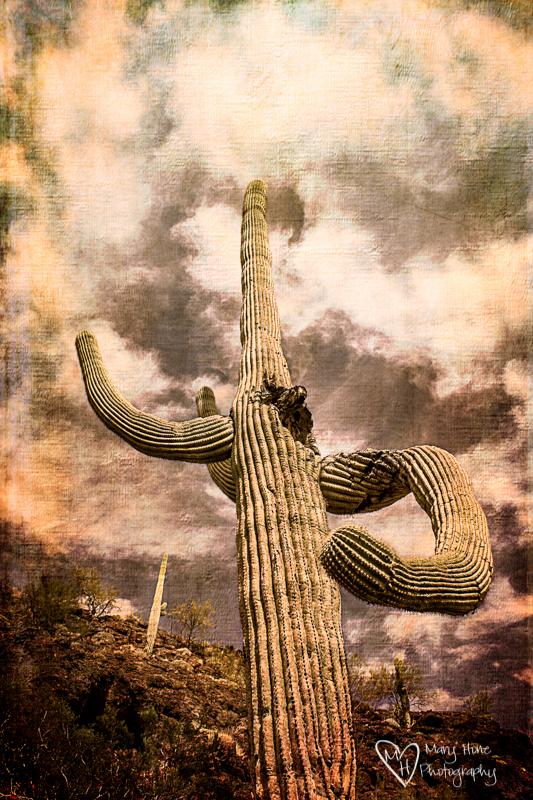 Those gnarly old Saguaro