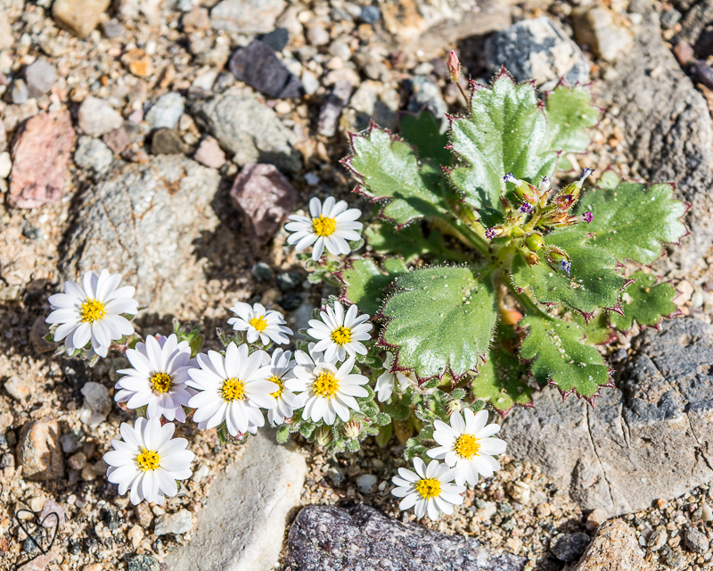 Rock daisy Death Valley