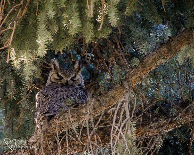 The neighborhood owl