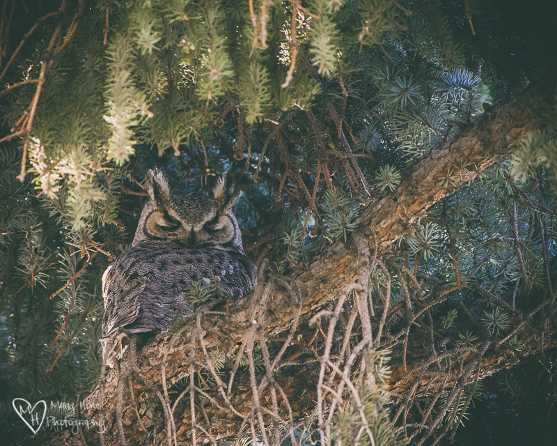 The neighborhood owl