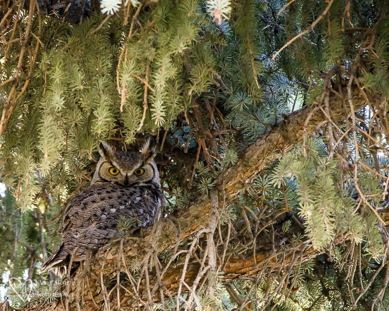 The neighborhood owl. Nik Color Efex