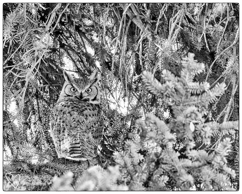 The neighborhood owl. Nik Silver Efex