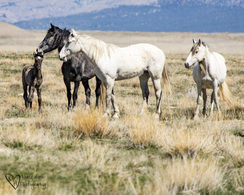 The Future of Wild Horses