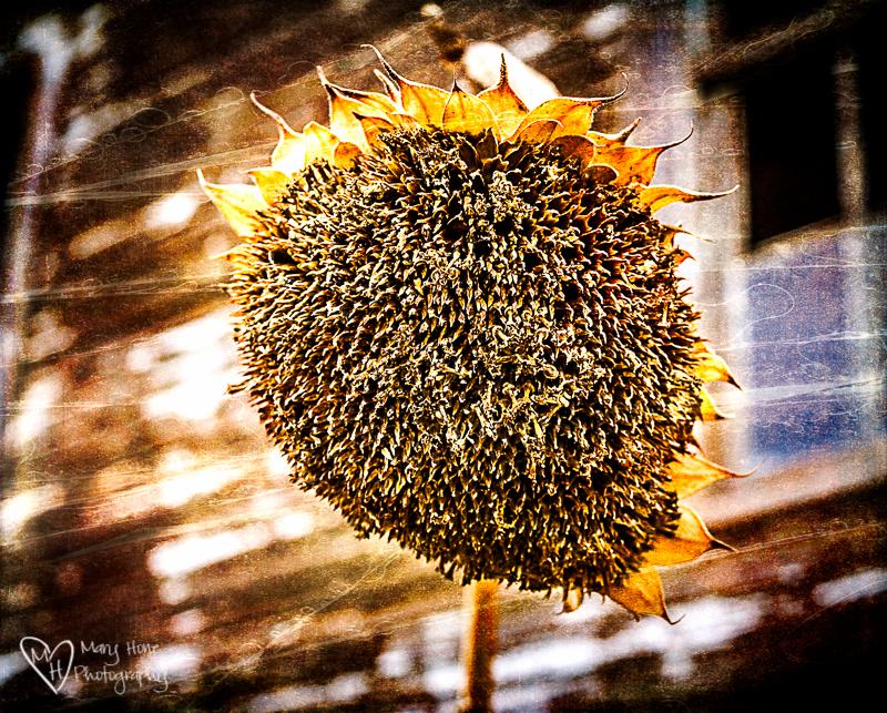 Old sunflower