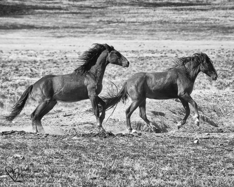 The Future of Wild Horses. Running wild horses