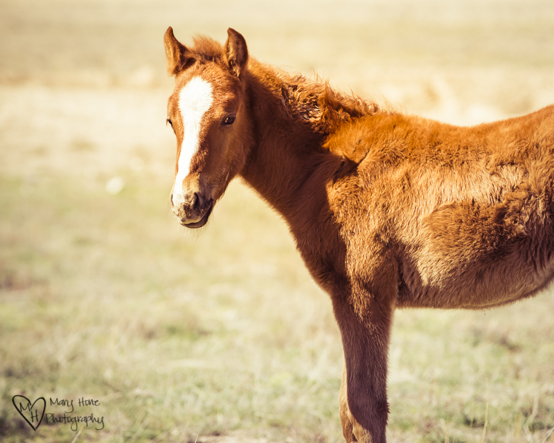 The Future of Wild Horses. Cute brown colt. Wild Horse