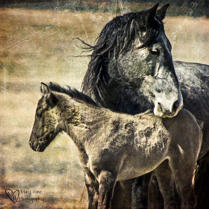 The Future of Wild Horses. Cute gray colt. wild horse