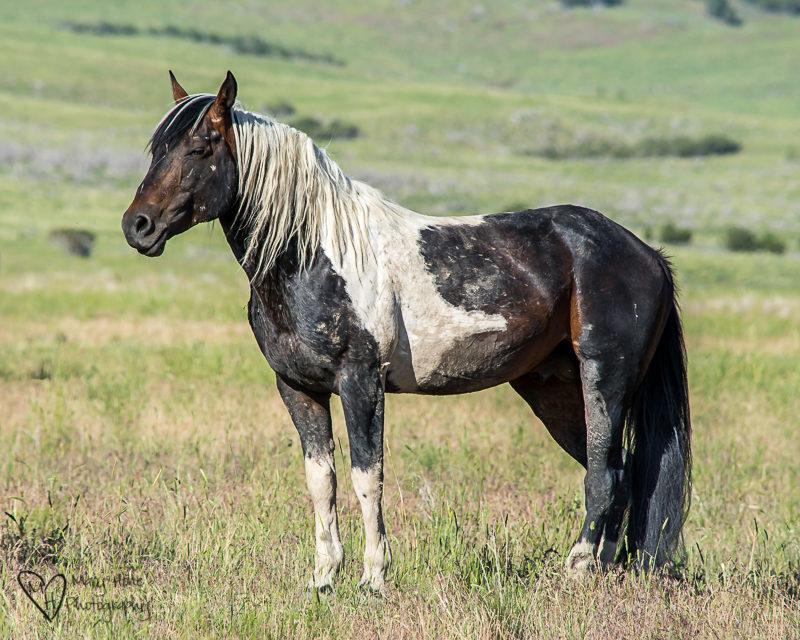 Battle scarred and beautiful wild horse stallion