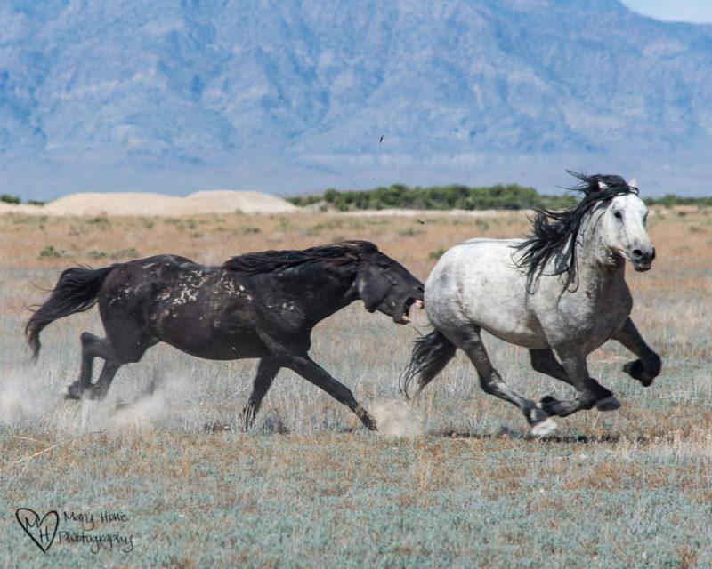 Keep the Wild Horses Wild. Fighting stallions