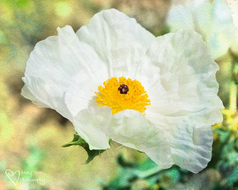 Wild Year for Wild Flowers. Prickly Poppy