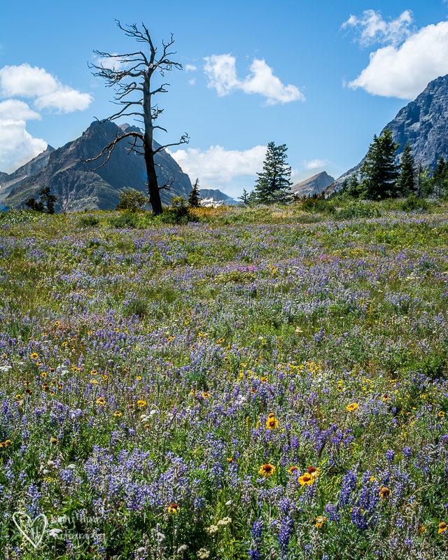 Many Glacier wild flowers