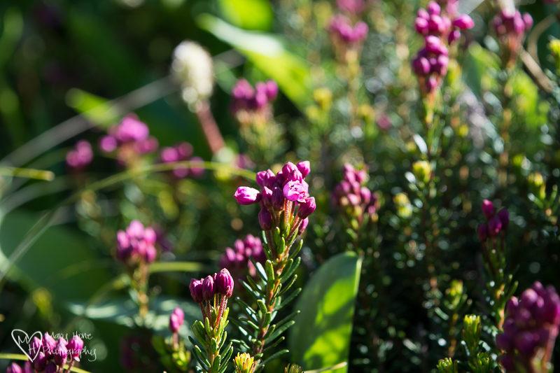 Purple flowers in Glacier