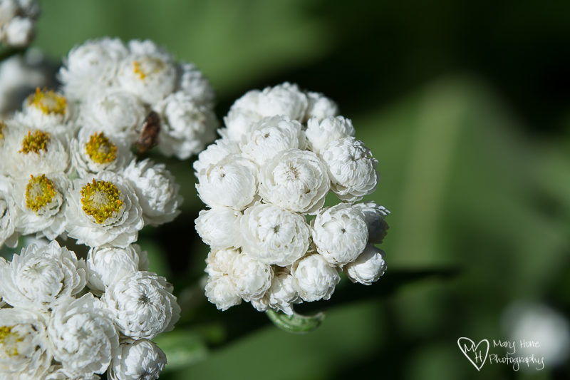 pearly everlasting in Glacier NP