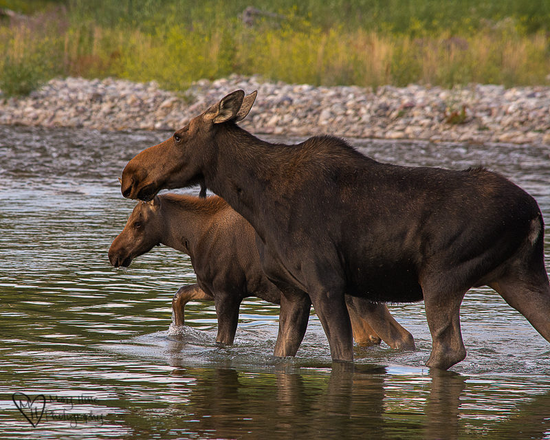 mom and baby moose in river. I Love Me Some Wyoming
