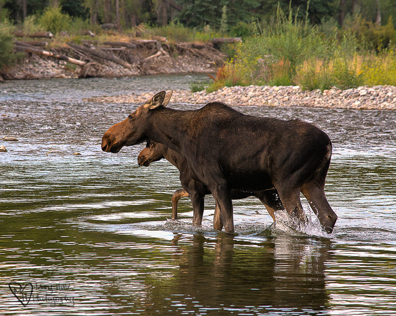mom and baby moose in river