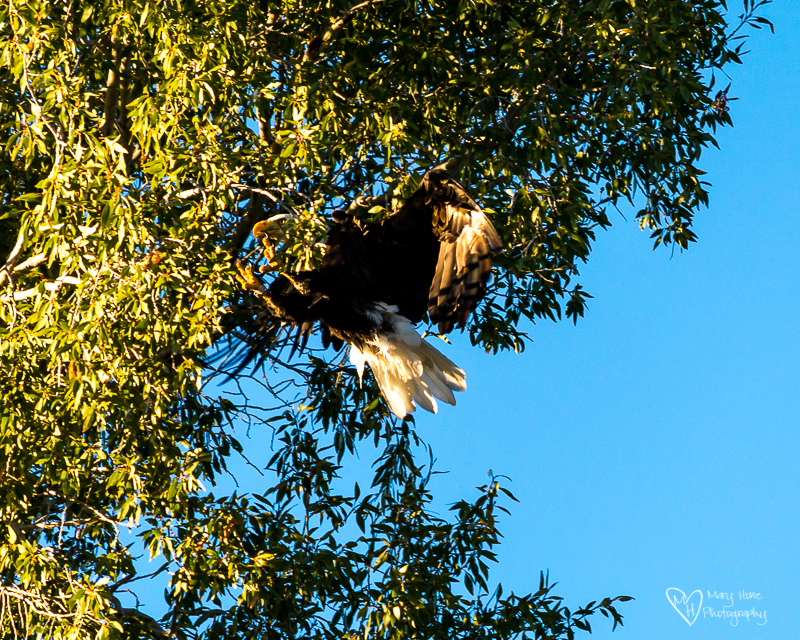 Bald eagle landing in a tree