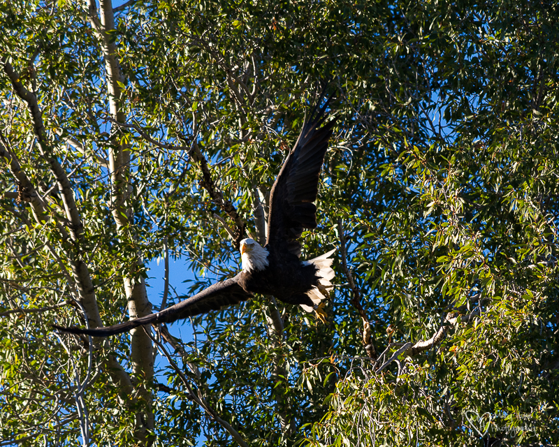 Bald eagle taking off from a tree
