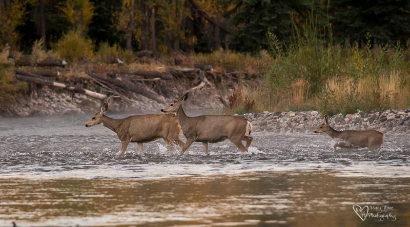 Deer crossing the river