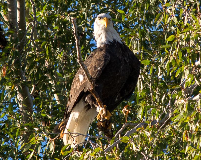 Eagle eye bald eagle