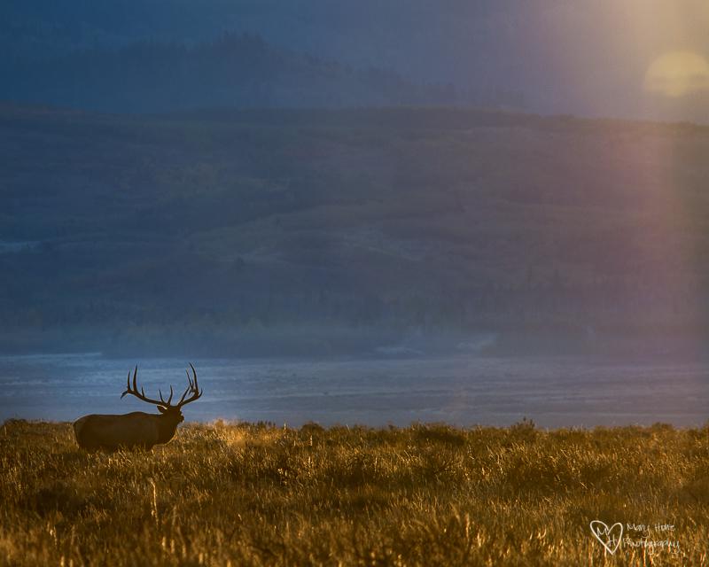 Elk Bugling at sunrise