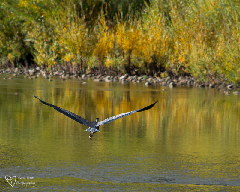 Blue heron landing on the river