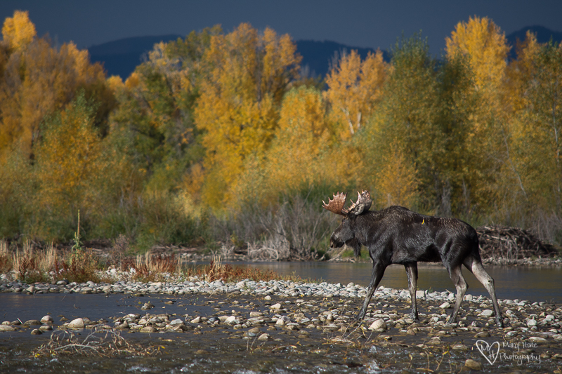 Bull moose in the river