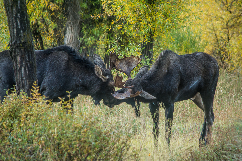 bull moose fighting