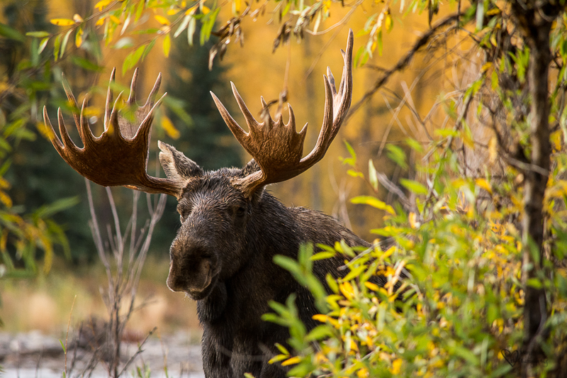 Marvelous Moose Morning