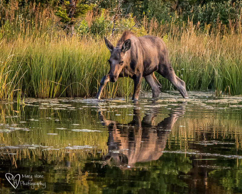 Young moose reflected in water