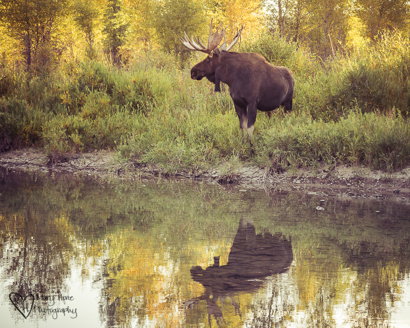 Bull moose reflected in water