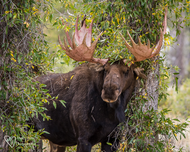 Watching a Moose Strip his Velvet Covered Antlers