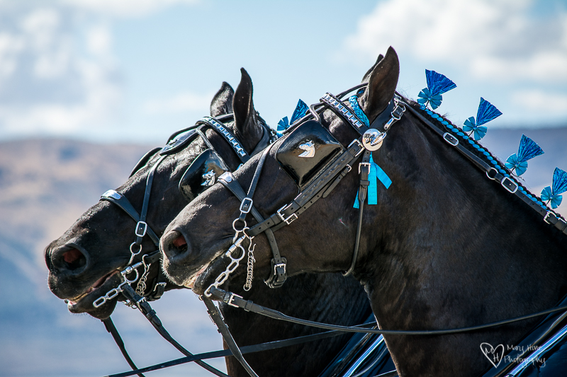 Draft horses pulling contests and giveaways