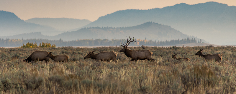 Elk in Grand Teton NP