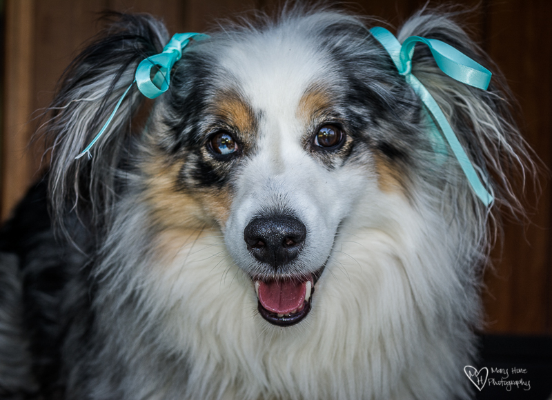 cute miniature australian shepherd with bows in her hair
