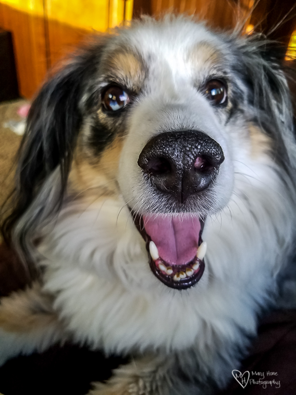 Happy Birthday Torrey, goofy dog photo, miniature aussie