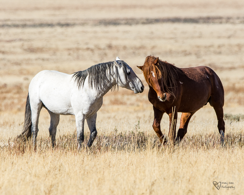 Wild Horse Week-Fighting Stallions